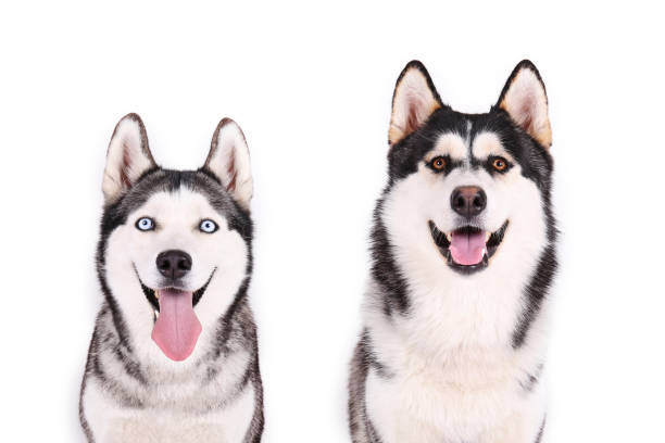 Purebred siberian husky with gray black and white coat colors. Portrait of young beautiful funny husky dog sitting with its tongue out on white isolated background. Smiling face of domestic pure bred dog with pointy ears. Close up, copy space. malamute stock pictures, royalty-free photos & images