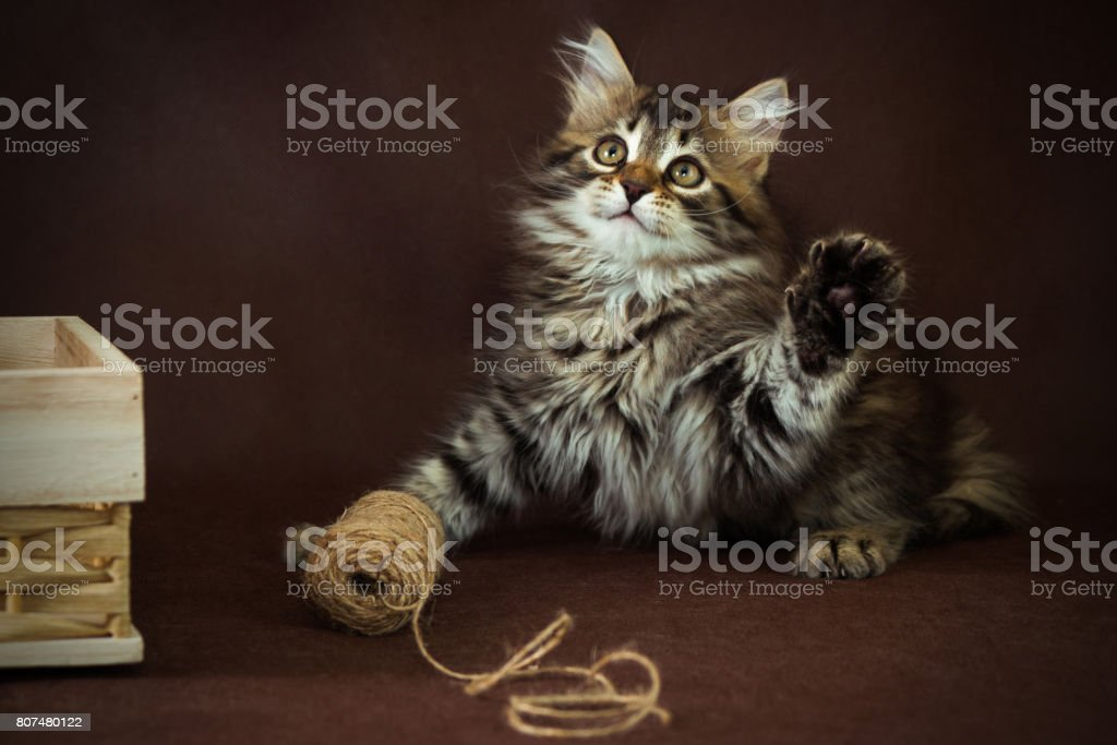 purebred siberian kitten on a brown background stock photo