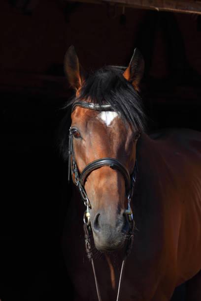 Purebred sports dressage horse portrait in dark stable picture id1088753040?b=1&k=6&m=1088753040&s=612x612&w=0&h=oappvu5bud5uw4pgpx7m cyttyvlyts7d hmqtii5zk=