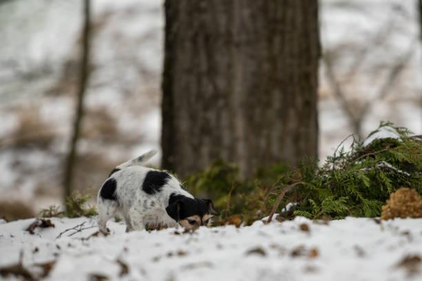 rasechte tricolor jack russell terrier neus volgt een track in de besneeuwde winter - dog looking at floor path stockfoto's en -beelden