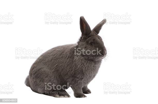 Purebred vienna glaucousblue rabbit on white background picture id536954853?b=1&k=6&m=536954853&s=612x612&h=lzhydo5 g4s be5rkiscnnco2minl8bzka4t760xkkk=