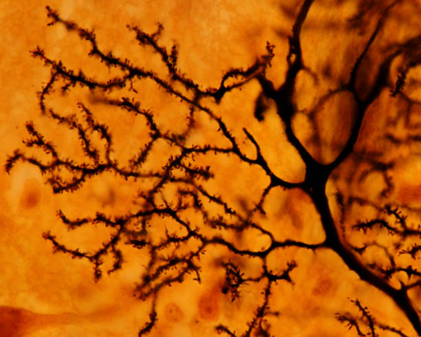Purkinje neuron. Dendritic tree stock photo