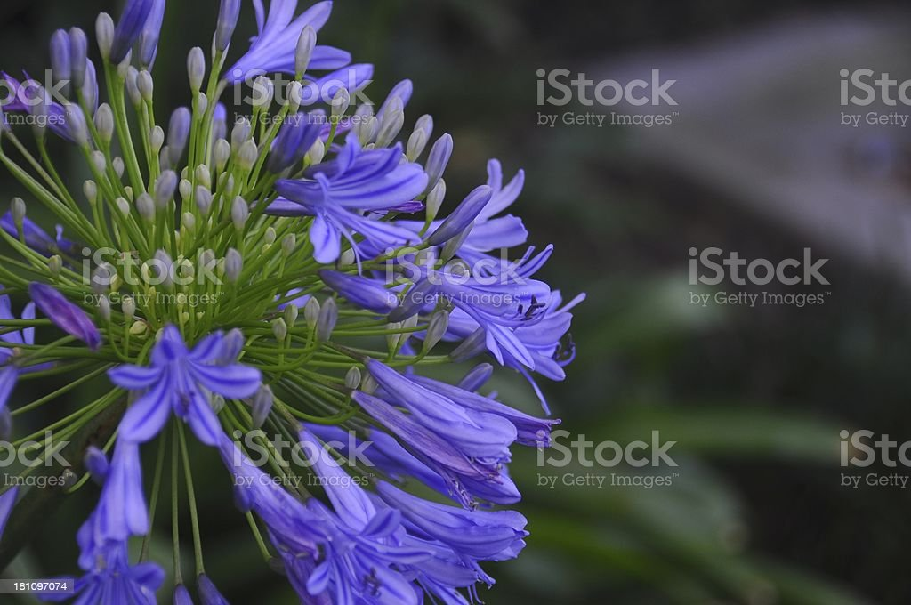 Purpel Flower stock photo