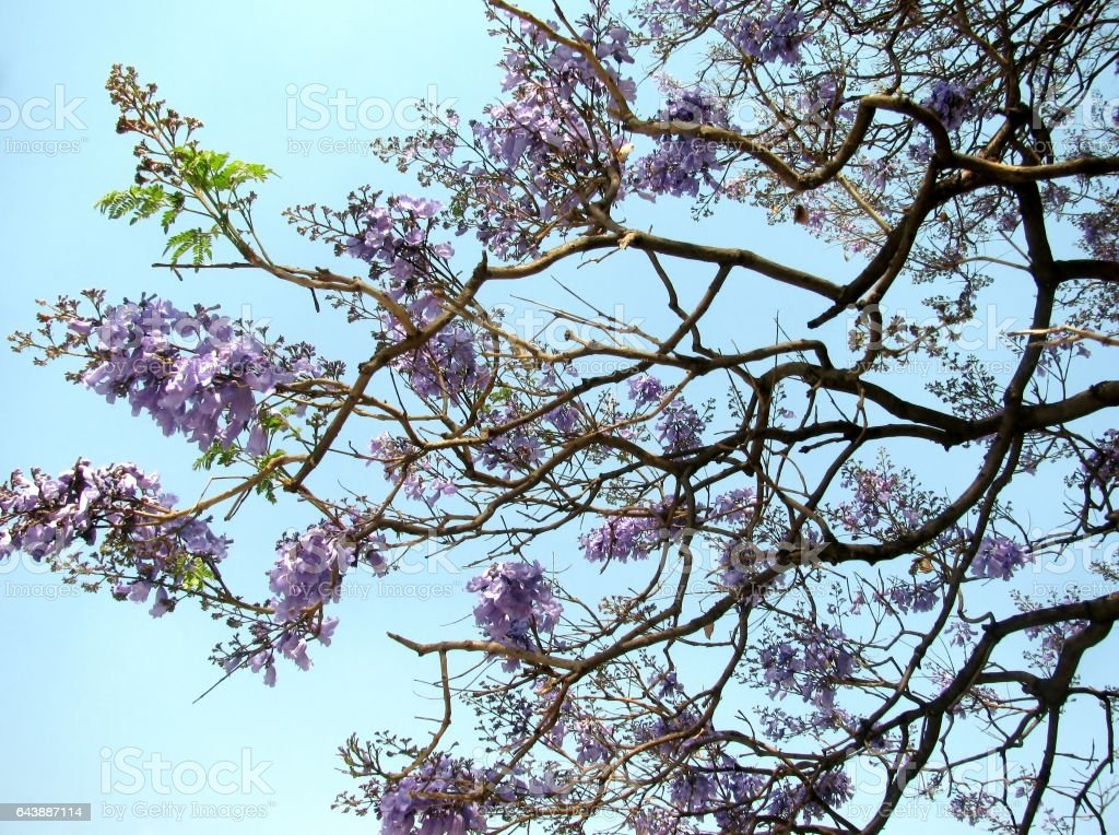 Purple Acacia Flowers Stock Photo More Pictures Of Acacia Tree
