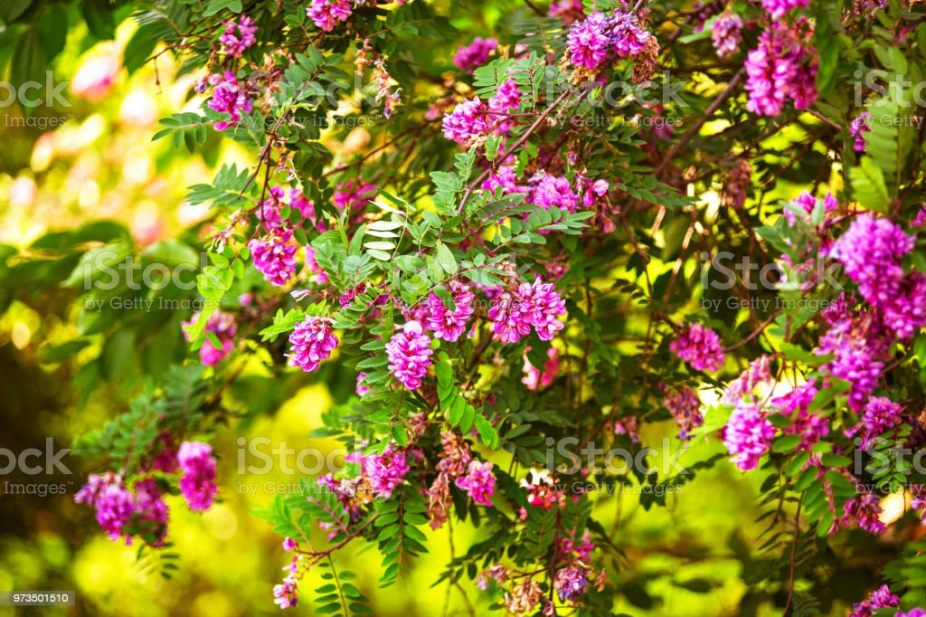 Purple Acacia Tree Blooming Background Pink Robinia Flowers Stock