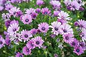 紫のアフリカ デイジー (Osteospermum Ecklonis)