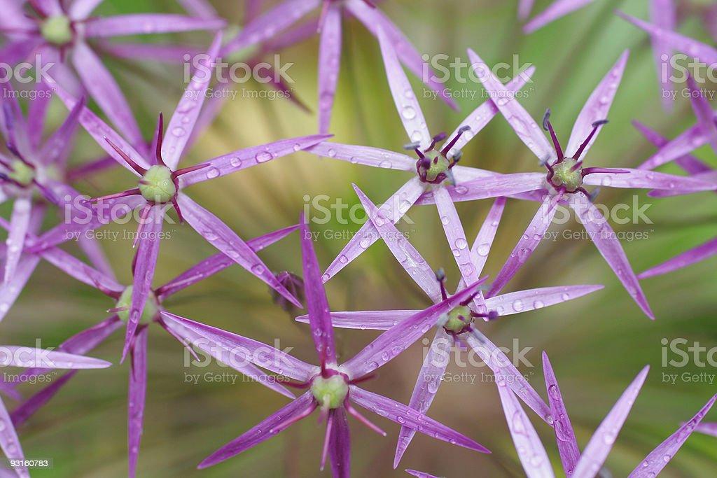 Purple Alium Star Flowers royalty-free stock photo
