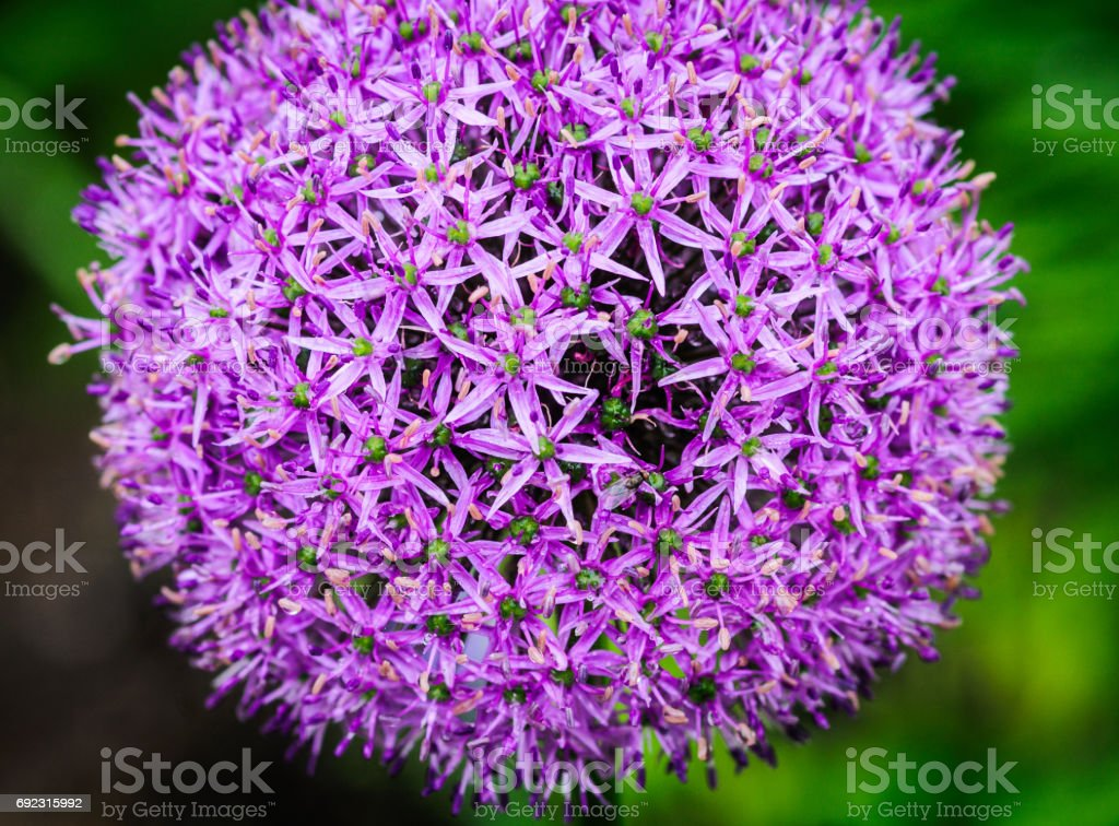 Paarse Allium Flower​​​ foto