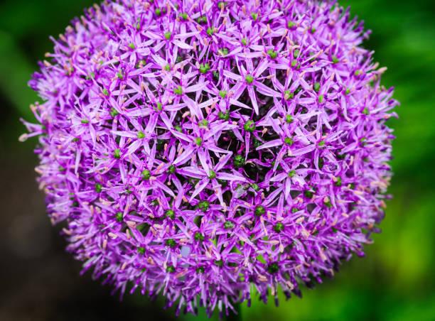 Paarse Allium Flower foto
