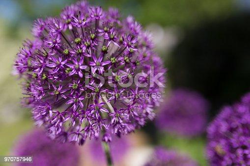 allium giganteum in garden
