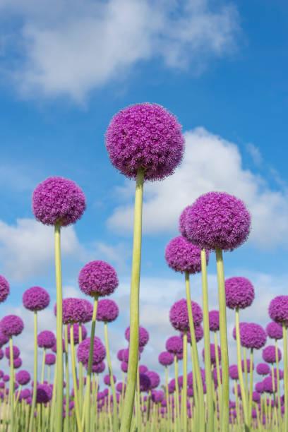 Paarse allium bloemen foto