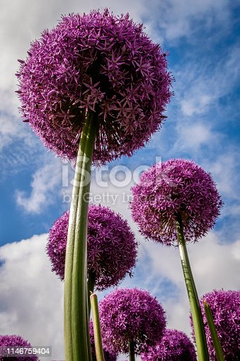 Purple Allium giganteum (giant onion) viewed from below