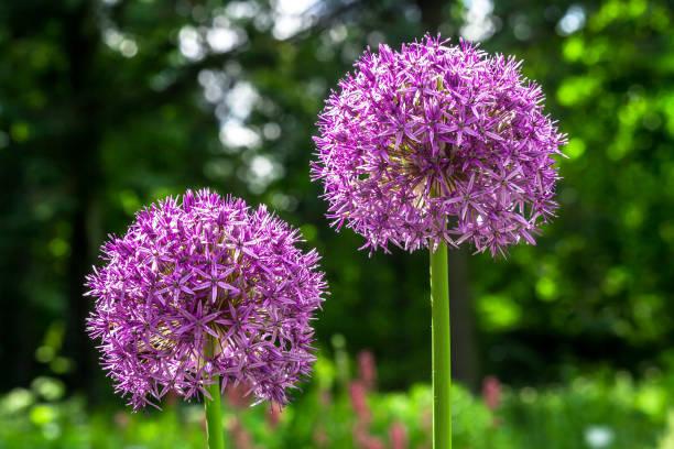 Paarse Allium hollandicum bloemen in lentetuin foto