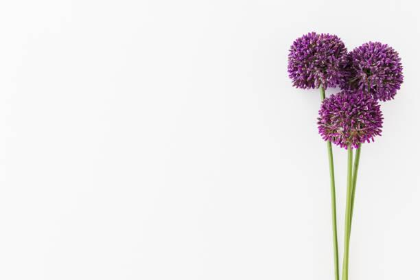 Paarse Allium geïsoleerd op een witte achtergrond met menselijke hand foto