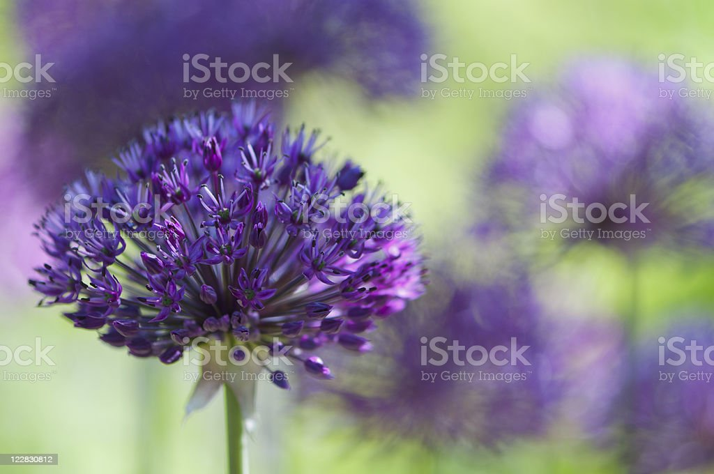 Purple Allium royalty-free stock photo