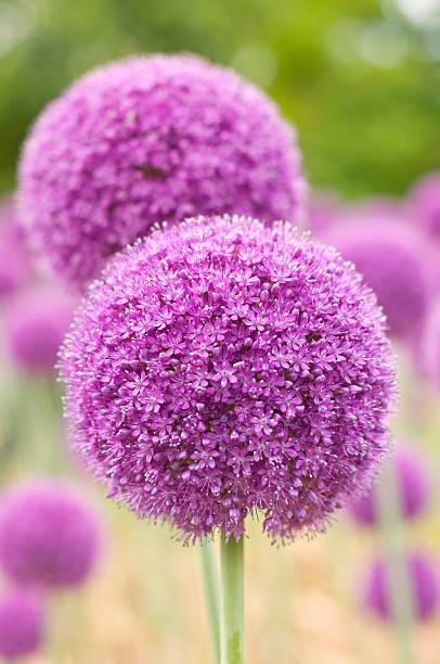 Purple Allium foto