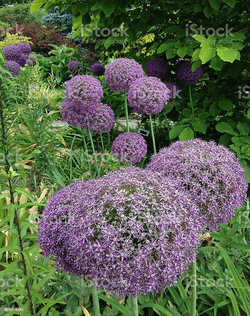 Purple Allium stock photo