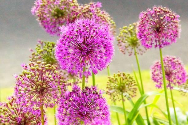 Paarse Allium foto