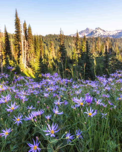Purple alpine aster wild flowers in bloom in the Paradise area of Mount Rainier National park.
