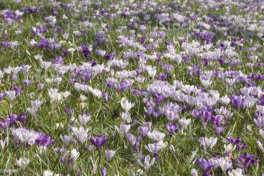Purple & White Crocus in Park royalty-free stock photo
