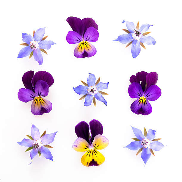 Purple and blue edible flowers Purple and blue edible flowers: viola and borage - high key image. garnish stock pictures, royalty-free photos & images