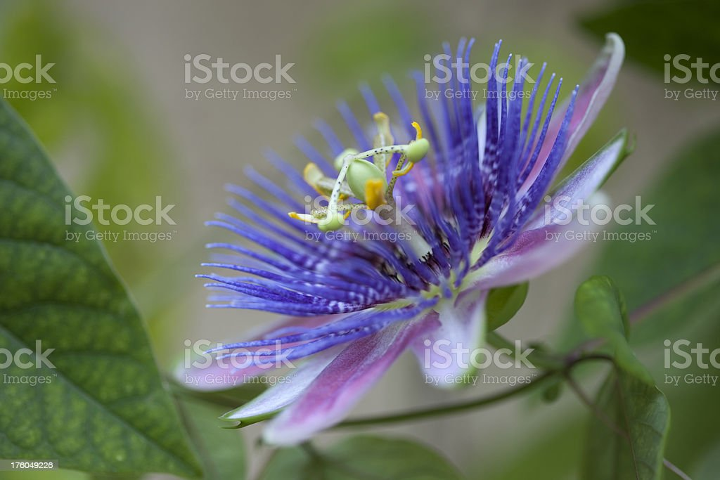 Purple and Blue Tropical Passion Flower, passiflora belotii stock photo