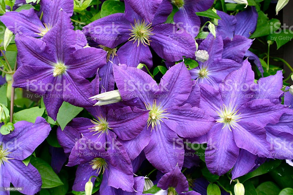 Purple and Green Clematis stock photo