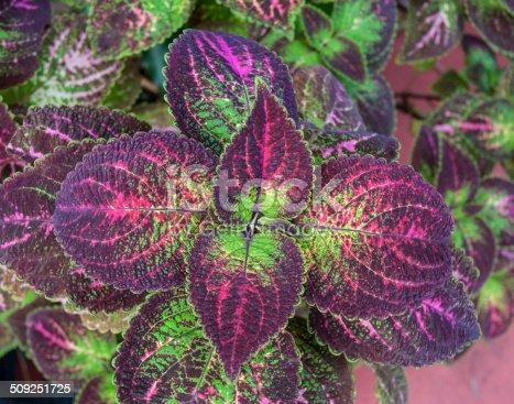 Purple And Green Coleus Tropical Plant Leaves Macro