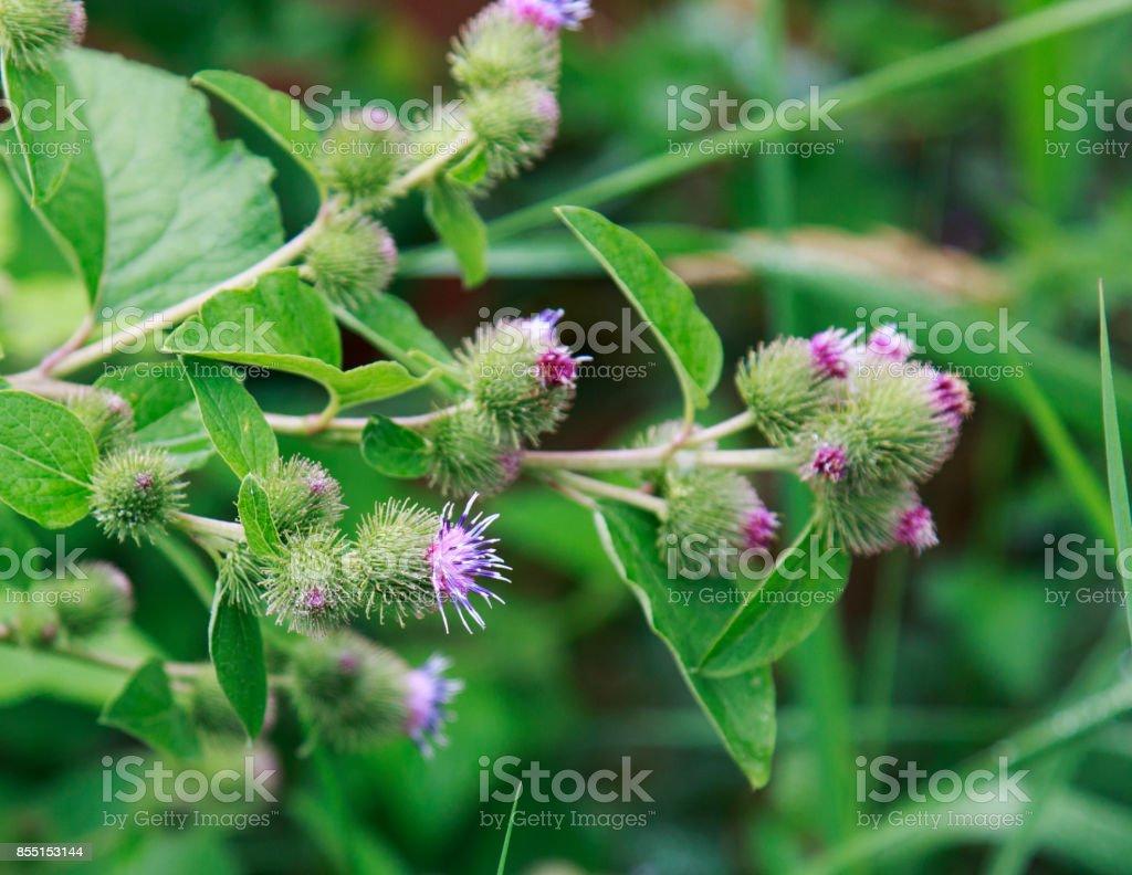 Purple and green spikey Greater burdock flower - foto stock