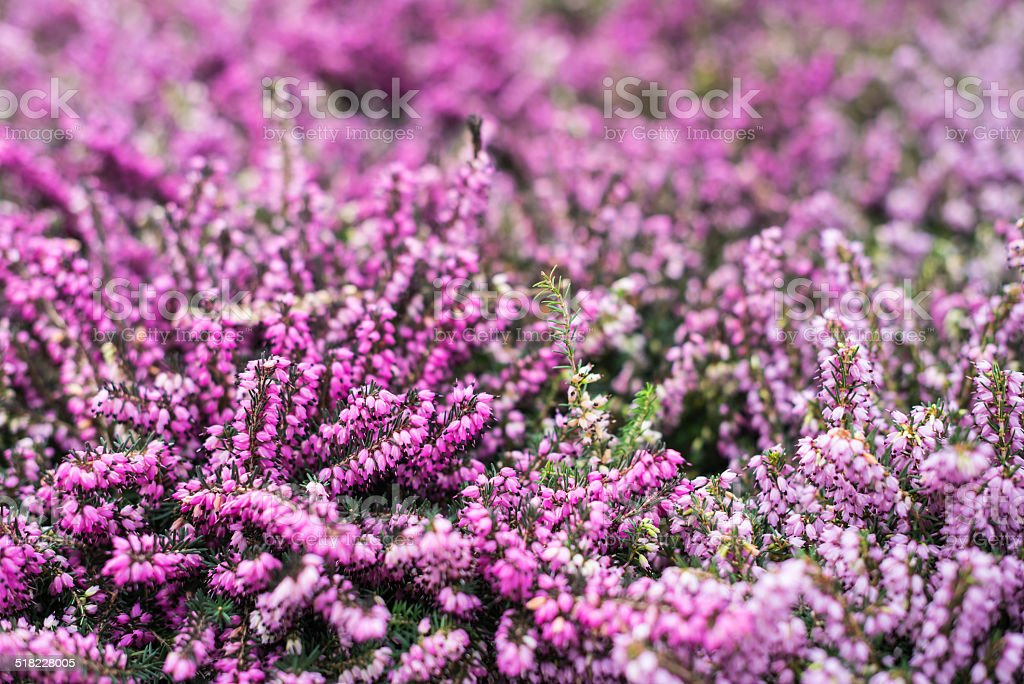 Purple and pink blooming common heather stock photo