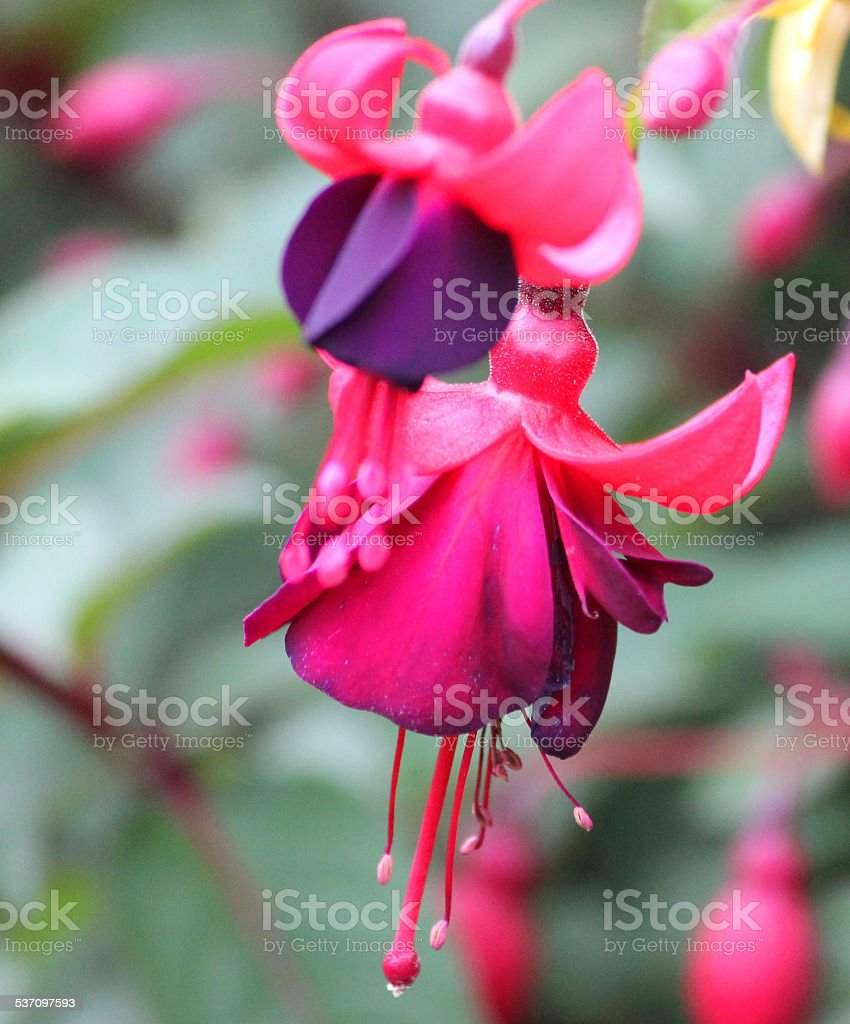 Purple and pink fuschia flowers trailing fuschias garden purple and pink fuschia flowers trailing fuschias garden hanging basket image royalty mightylinksfo