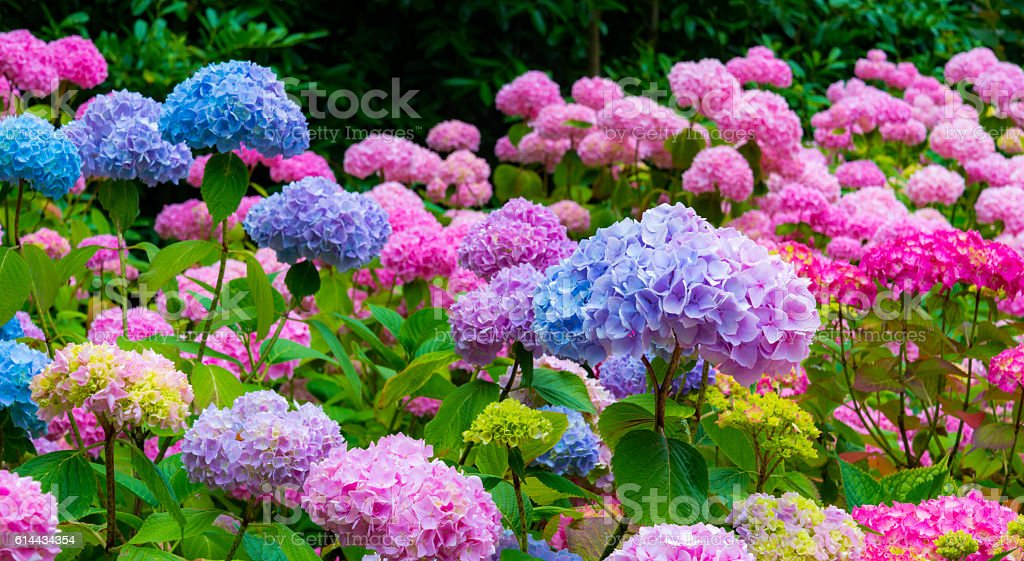 Purple and Pink Hydrangea Flowers stock photo
