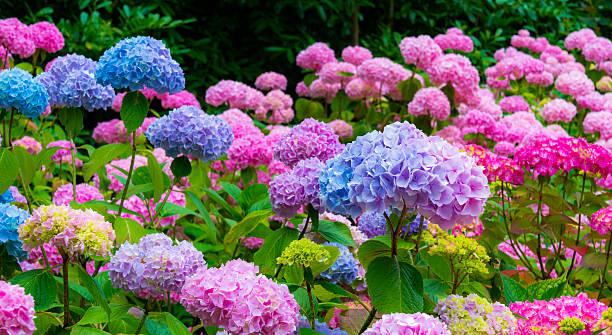 purple and pink hydrangea flowers - hortensia stockfoto's en -beelden