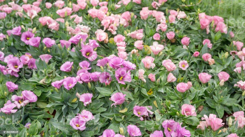 Lila Und Rosa Lisianthus Blume In Einem Garten Stockfoto Und Mehr