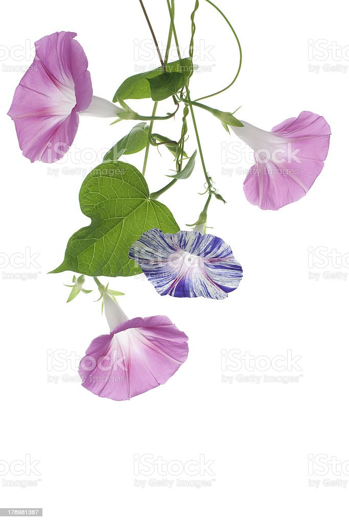 Purple and pink morning glory flowers stock photo