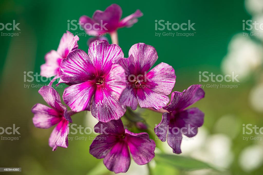 Purple and pink rare colored phlox flower stock photo