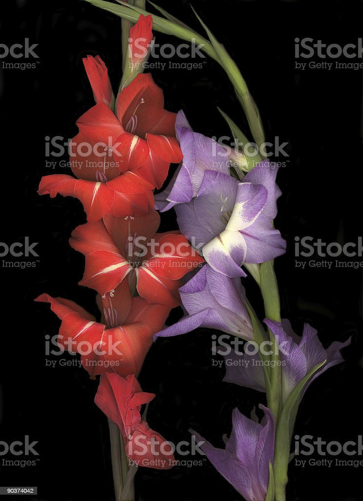 Purple and Red Gladiolas royalty-free stock photo