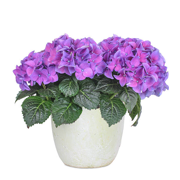 Purple and rose hydrangea, isolated stock photo