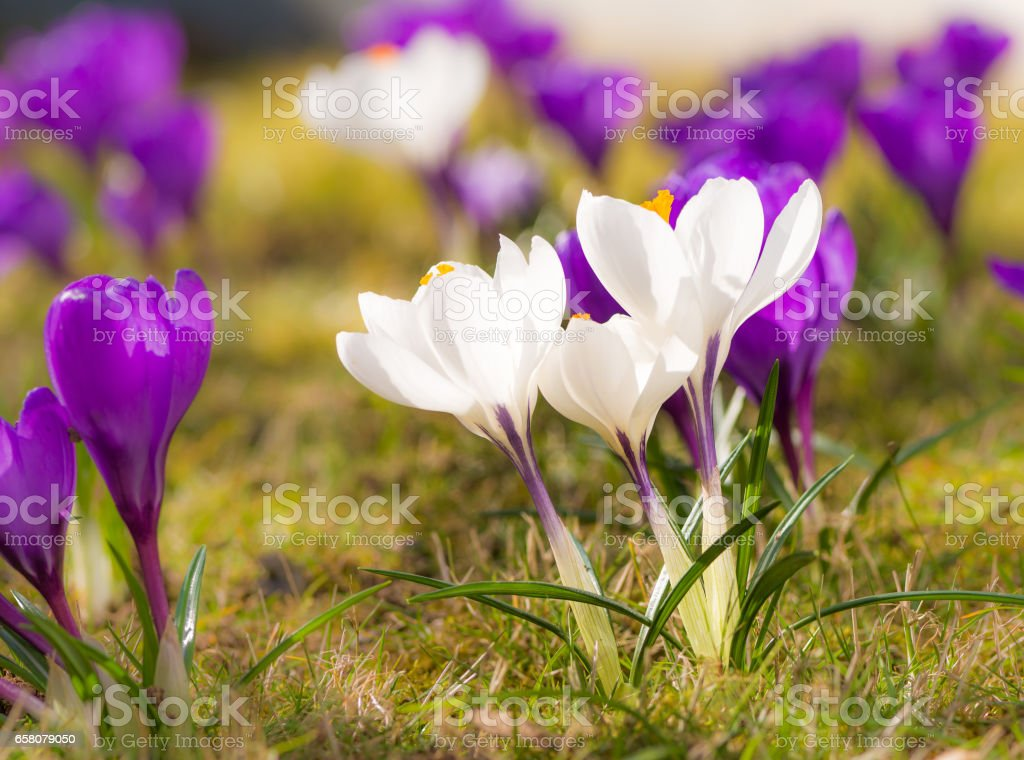 Purple and white corcus flowers in the grass royalty-free stock photo