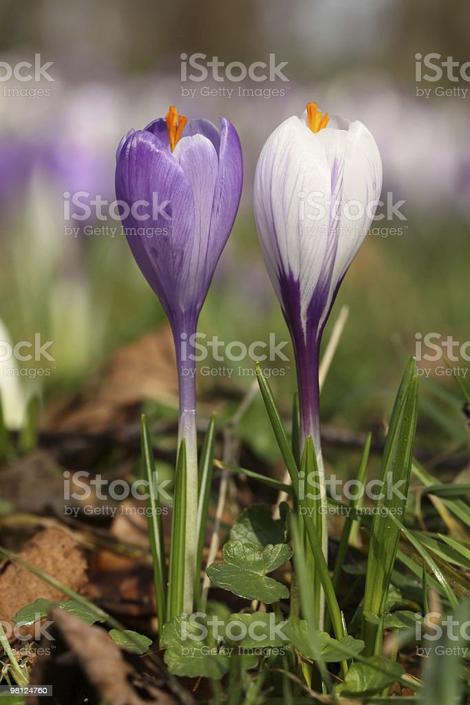 Purple and white crocus flowers royalty-free stock photo
