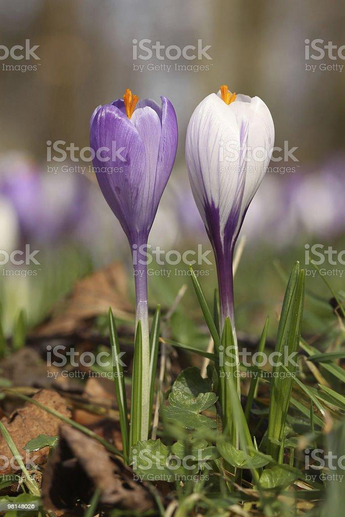 자주색 및 백색 크로커스 꽃 royalty-free 스톡 사진