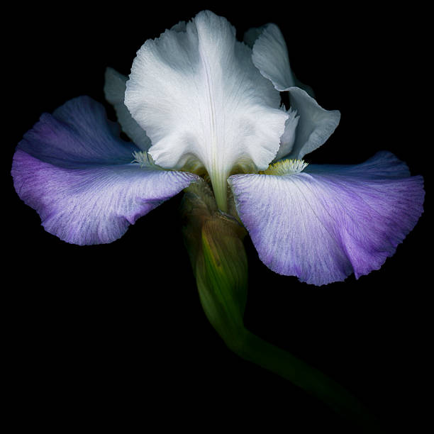 Purple and white Iris isolated on black stock photo