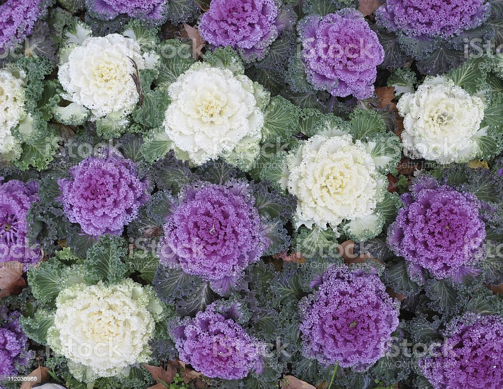 Purple And White Kale Flowers Stock Photo More Pictures Of Color
