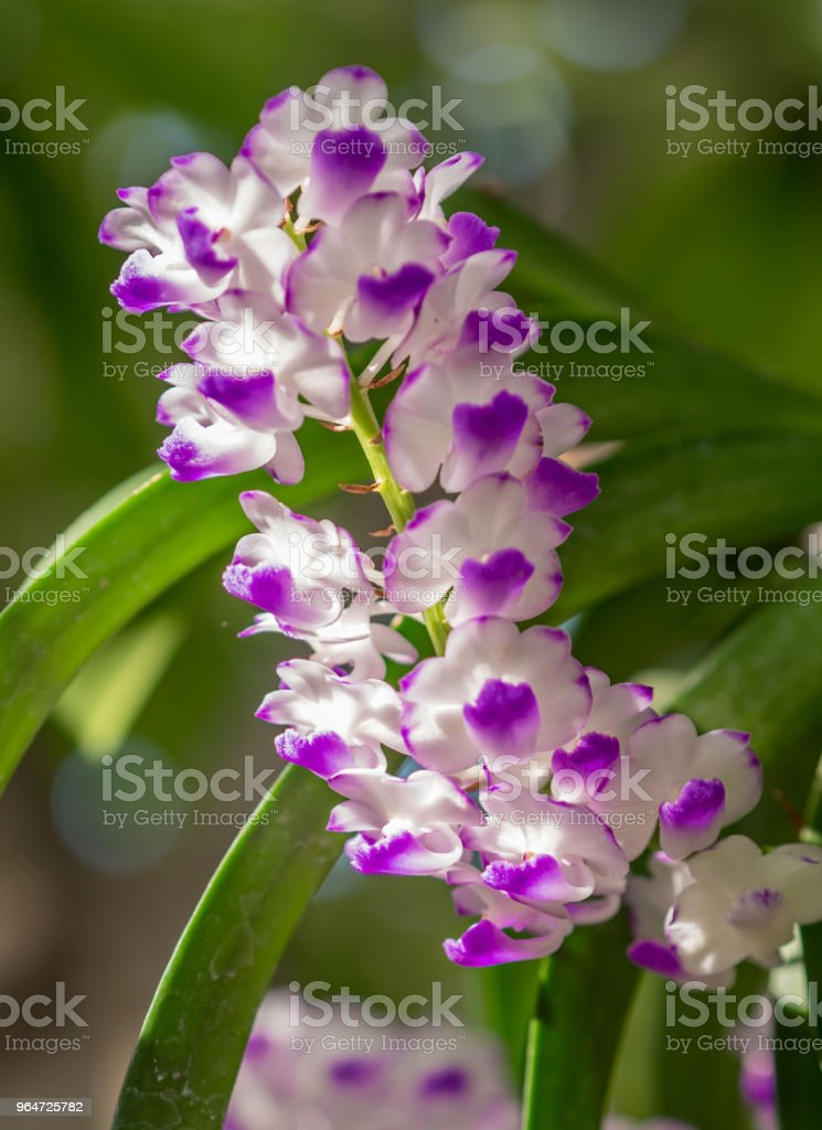 Purple and white orchid petals royalty-free stock photo