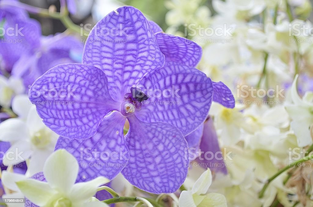 Purple and white orchids royalty-free stock photo