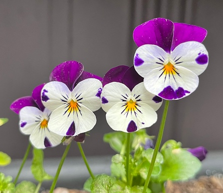 Close up of purple, white, and yellow pansies variety viola x wittrockiana