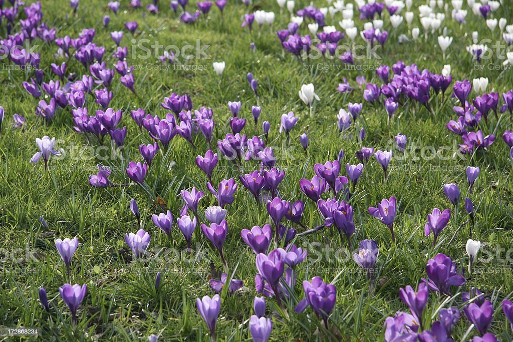 Purple and white spring crocus in lawn. royalty-free stock photo