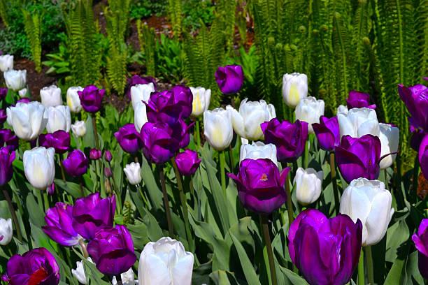 Lila und weißen Tulpen – Foto