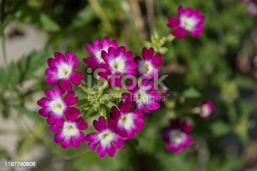 Purple and white verbena flower in close-up
