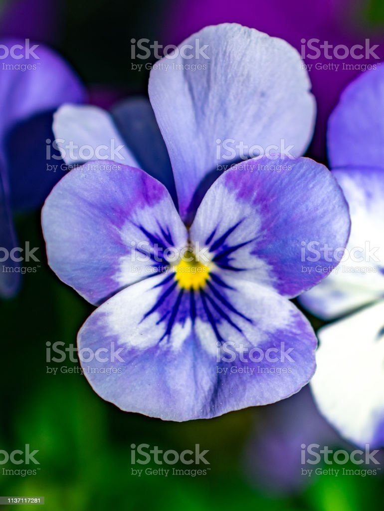 purple and white violet flower stock photo